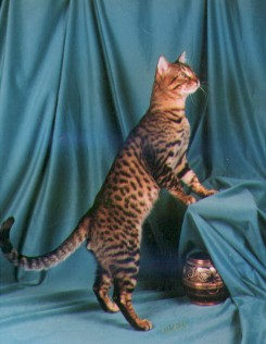 Cutter, IWSGC Tejas Cut and Shoot, International Winner, Best Bengal in the World, in 1997. He was the Best Shorthair Cat in the Region, and the 7th Best Shorthair Internationally